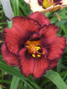 Hemerocallis 'Berrylicious'