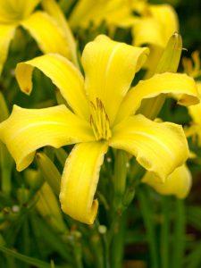 Hemerocallis 'Lemon Madelene'