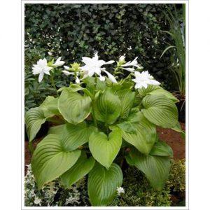Funkia (Hosta) Do rodzaju należy 40 gatunków łatwych w uprawie i odpornych na mróz bylin pochodzących z Japonii i Chin, cenionych za piękne ulistnienie. Wszystkie gatunki mają szerokie, kształtne liście, a u niektórych są one pokryte marmurkowym l