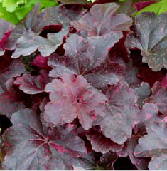 Heuchera_Midnight_Rose_Select_001